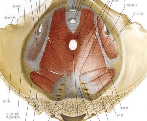 解剖自己总结 盆 背 图文