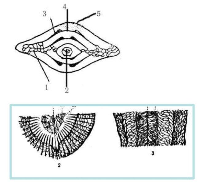 腔肠动物的体形有( )和(